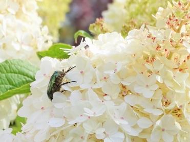2019-07-11 LüchowSss GartenRispenhortensie (Hydrangea paniculata) + Goldglänzender Rosenkäfer (Cetonia aurata) (6)