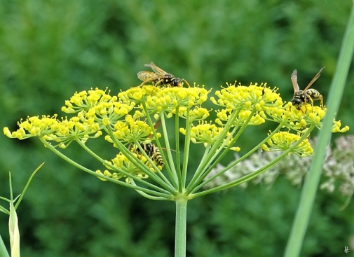 2019-07-12 LüchowSss Garten Fenchel (Foeniculum vulgare) mit 3 Gallischen Feldwespen (Polistes dominula)