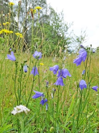 2019-07-12 LüchowSss Garten Rundblättrige Glockenblume (Campanula rotundifolia) (8)