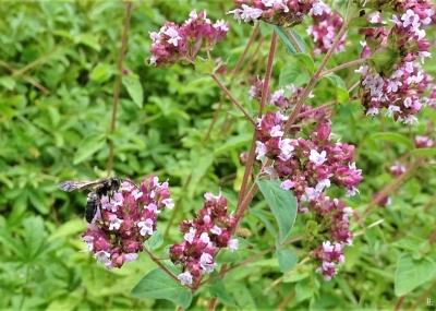 Wahrscheinlich die Schwarzen Köhlersandbienen|  Veröffentlicht am 2019/07/20 von puzzleblume