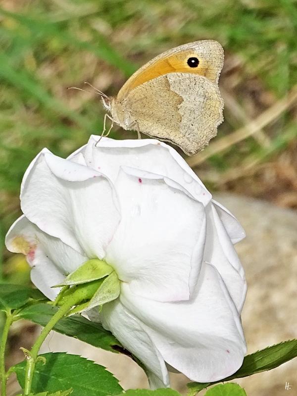 2019-07-13 LüchowSss Garten Grosses Ochsenauge (Maniola jurtina) auf weisser Rose 'Aspirin'