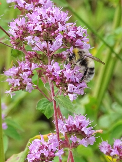2019-07-13 LüchowSss Garten Helle Erdhummel (Bombus lucorum) (2)