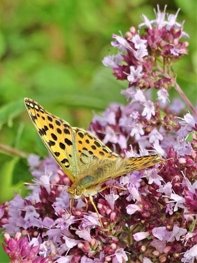 2019-07-13 LüchowSss Garten Kleiner Perlmuttfalter (Issoria lathonia) + Wilder Dost (Origanum vulgare) (11)
