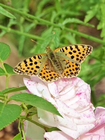 2019-07-13 LüchowSss Garten Kleiner Perlmuttfalter (Issoria lathonia) + Wilder Dost (Origanum vulgare) (6)