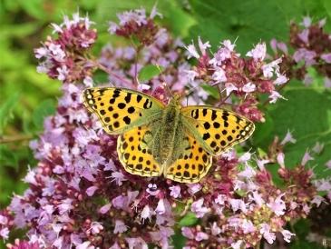 2019-07-13 LüchowSss Garten Kleiner Perlmuttfalter (Issoria lathonia) + Wilder Dost (Origanum vulgare) (7)