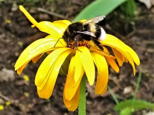 2019-07-13 LüchowSss Garten Kryptorum-Hummel (Bombus cryptorum) auf Ringelblume (Calendula officinalis)