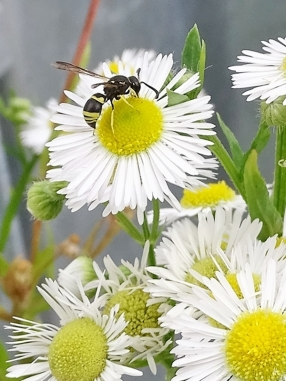2019-07-13 LüchowSss Garten Weisses Berufkraut - Feinstrahl + Ancistrocerus oviventris (Faltenwespe) (15)