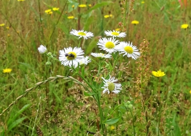 2019-07-13 LüchowSss Garten Weisses Berufkraut - Feinstrahl (Erigeron annuus)