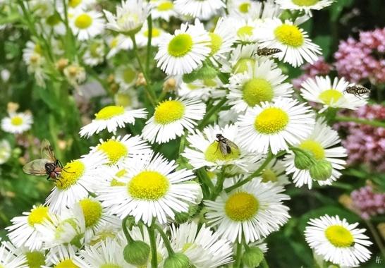 2019-07-13 LüchowSss Garten Weisses Berufkraut - Feinstrahl mit div. Insekten (4)