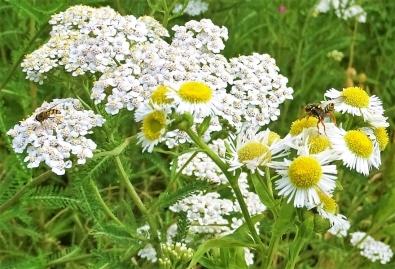 2019-07-13 LüchowSss Garten Weisses Berufkraut + Wiesen-Schafgarbe + Insekten