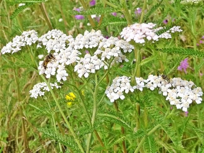 2019-07-13 LüchowSss Garten Wiesen-Schafgarbe (Achillea millefolium) + kl. Wildbiene + Wespe (4)