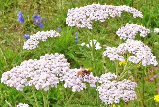 2019-07-13 LüchowSss Garten Wiesen-Schafgarbe (Achillea millefolium) + Raupenfliege (7)