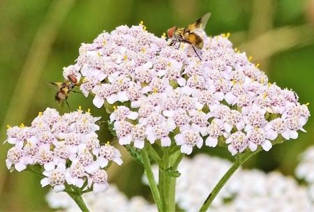 2019-07-13 LüchowSss Garten Wiesen-Schafgarbe (Achillea millefolium) +Raupenfliegen (Cistogaster globosa) (1)