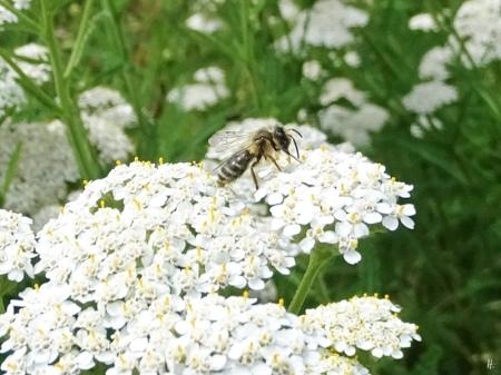 2019-07-13 LüchowSss Garten Wiesen-Schafgarbe (Achillea millefolium) + Wildbiene (10)