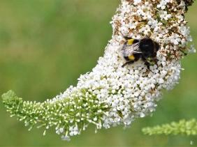 2019-07-18 LüchowSss Garten weisser Schmetterlingsflieder (Buddleja davidii) + Dunkle Erdhummel (Bombus terrestris) Jung-Königin