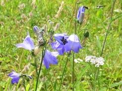 2019-07-19 LüchowSss Garten Rundblättrige Glockenblume (Campanula rotundifolia) + Kleine Glockenblumen-Scherenbienen (Chelostoma campanularum) (3)