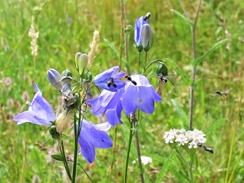 2019-07-19 LüchowSss Garten Rundblättrige Glockenblume (Campanula rotundifolia) + Kleine Glockenblumen-Scherenbienen (Chelostoma campanularum) (2)