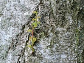 2019-07-21 LüchowSss Garten Birken-Austrieb am Stamm (1)