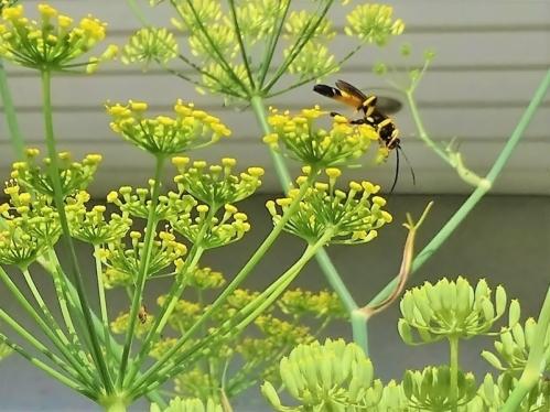 2019-07-21 LüchowSss Garten Fenchel (Foeniculum vulgare) + unbekannte Wespe (3)