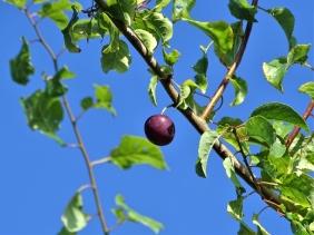 2019-07-21 LüchowSss Garten Kirschpflaume (Prunus cerasifera) reife Frucht