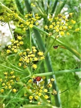 2019-07-23 LüchowSss Garten Fenchel (Foeniculum vulgare)+ Marienkäfer