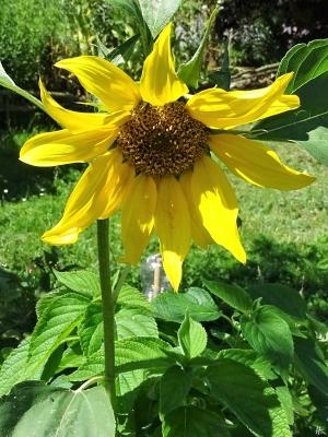 2019-07-23 LüchowSss Garten Sonnenblume (Helianthus annuus)