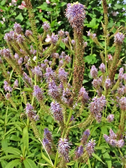 2019-07-28 LüchowSss Garten Kandelaber-Ehrenpreis (Veronicastrum virginicum) + Cristate + Scheinbienen-Keilfleckschwebfliege (Eristalis tenax)