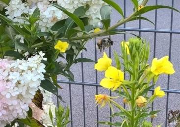 2019-07-29 LüchowSss Garten morgens halb sieben Uhr (19) Dunkle Erdhummel + Nachtkerzen-Blüten
