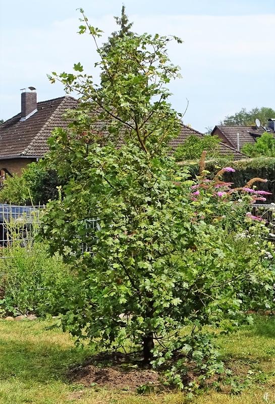 2019-07-31 LüchowSss Garten Feld-Ahorn (Acer campestre) Tag 1 (3)