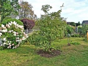 2019-07-31 LüchowSss Garten Feld-Ahorn (Acer campestre) Tag 1 (5)