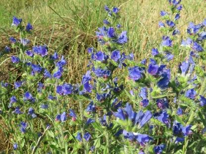2017-07-06_2 Tschechien b. Dolni Radslavice (8) Blauer Natternkopf (Echium vulgare)