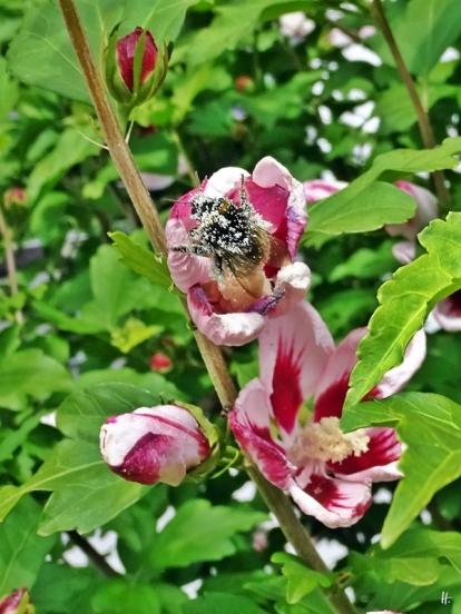 2018-07-10 LüchowSss Garten Garteneibisch (Hibiscus syriacus) mit bis zur Unkenntlichkeit von Pollen gepuderter Hummel