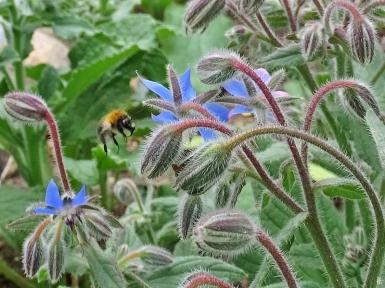 2018-08-20 LüchowSss Garten Borretsch (2) mit Ackerhummel