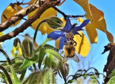 2018-11-15 LüchowSss Garten Ackerhummel (Bombus pascuorum) am Borretsch (Borago officinalis) (1)