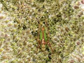 2019-07-30 LüchowSss Garten Wilde Möhre (Daucus carota subsp. carota) + Larve v. Grünen Heupferd (Tettigonia viridissima)