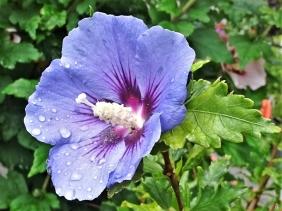 2019-07-31 LüchowSss Garten Garten-Eibisch (Hibiscus syriacus) blau