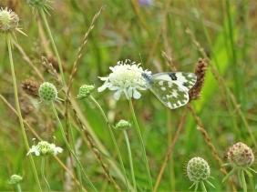 2019-07-31 LüchowSss Garten Reseda-Falter (Pontia edusa ) + Gelb-Skabiose (Scabiosa ochroleuca)
