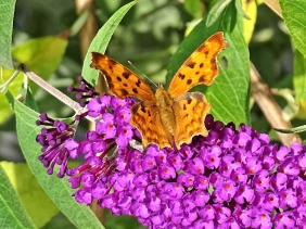2019-08-03 LüchowSss Garten Schmetterlingsflieder (Buddleja davidii) + C-Falter (Polygonia C-album) (3)