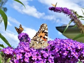 2019-08-11 LüchowSss Garten 3 Distelfalter (Vanessa cardui) + purpurner Schmetterlingsflieder (Buddleja davidii) (3)