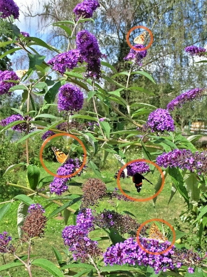 2019-08-11 LüchowSss Garten Distelfalter + Admiral + Kleiner Perlmuttfalter + purpurner Schmetterlingsflieder