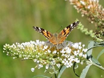 2019-08-11 LüchowSss Garten Distelfalter (Vanessa cardui) + weisser Schmetterlingsflieder (Buddleja davidii) (1)