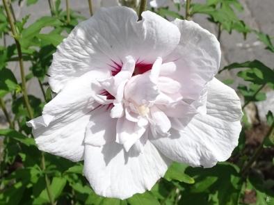 2019-08-11 LüchowSss Garten Garteneibisch (Hibiscus syriacus) 'China Chiffon Bricutt'