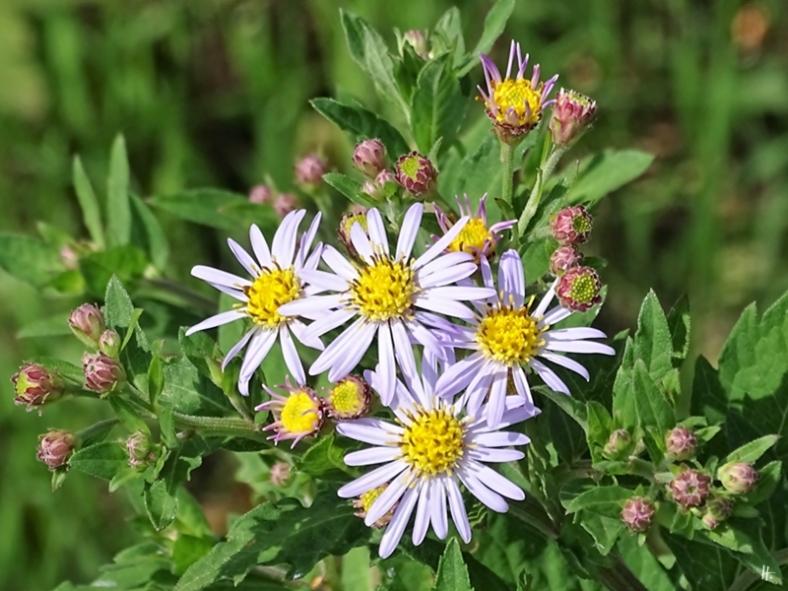 2019-08-11 LüchowSss Garten Wildaster (Aster ageratoides) 'Asran' blüht