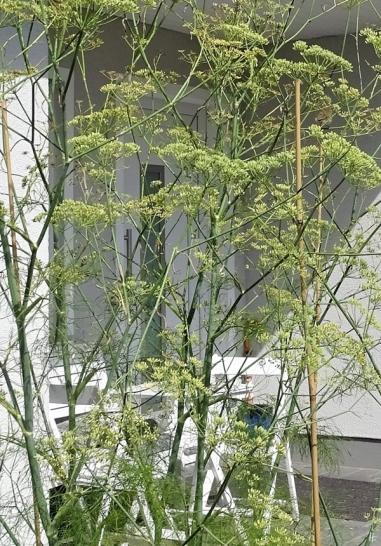 2019-08-11 LüchowSss Garten Zilpzalp (Phylloscopus collybita) im Fenchel (Foeniculum vulgare)(1)