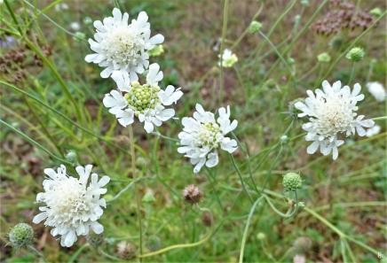 2019-08-15 LüchowSss Garten Gelb-Skabiose (Scabiosa ochroleuca)