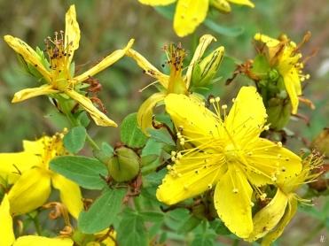 2019-08-16 LüchowSss Garten morgens Echtes bzw. Tüpfel-Johanniskraut (Hypericum perforatum)