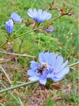 2019-08-16 LüchowSss Garten morgens Wegwarte (Cichorium intybus) + Ackerhummel (Bombus pascuorum) (1)