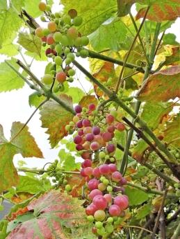 2019-08-17 LüchowSss Garten (3) Weintrauben 'Vanessa'