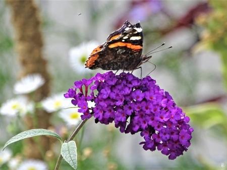 2019-08-18 LüchowSss Garten Admiral (Vanessa atalanta) an Schmetterlingsflieder (Buddleja davidii)