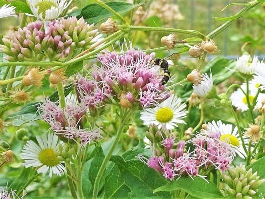 019-08-18 LüchowSss Garten Insekten (4) Knotenwespe